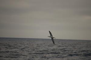 Albatros2
