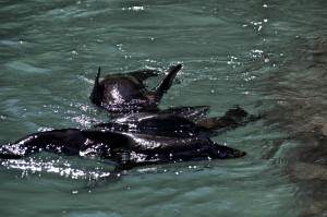 Baby Seals mehrere