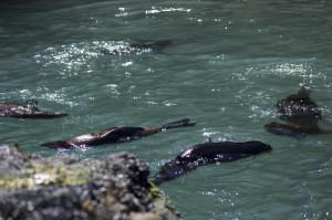 Baby Seals mehrere2