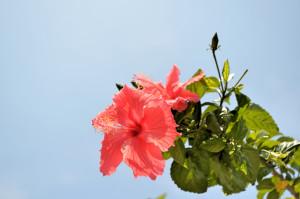 Blume KL