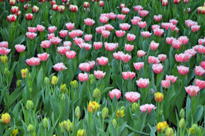 Tulpen Gardens