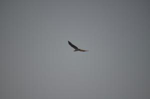 Seeadler Komodo